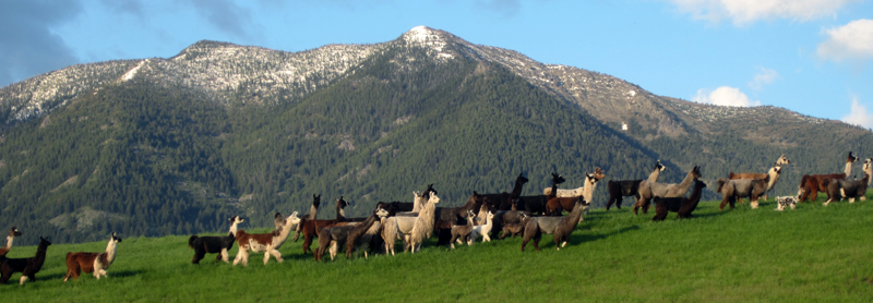 Great Northern Ranch — Montana llama breeders since 1979