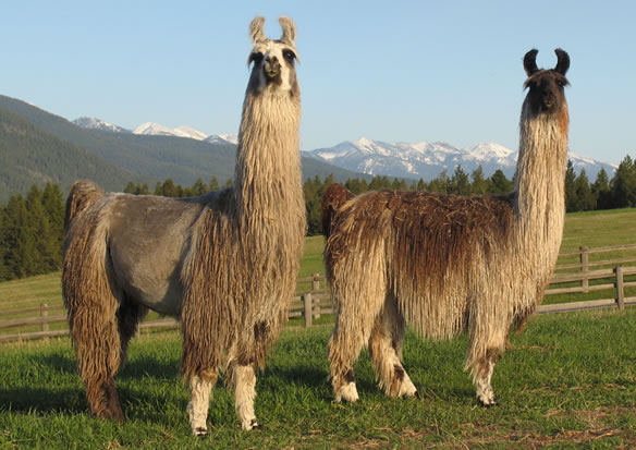 Image result for pictures of llama